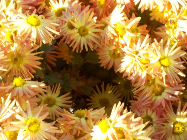 Crizanteme_155