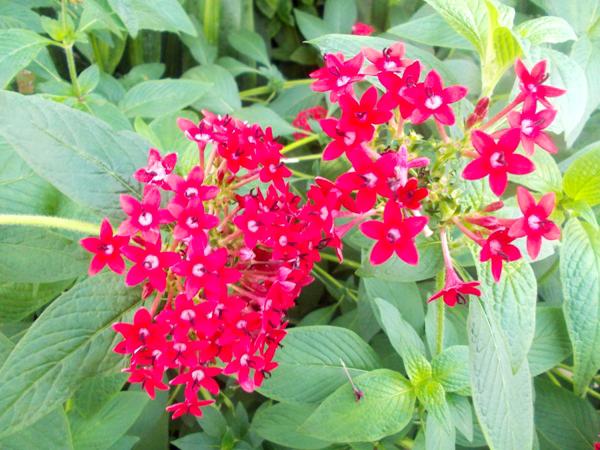 Crizanteme_156