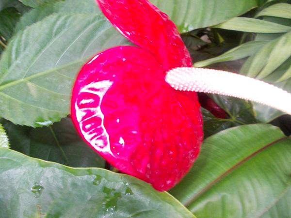 Crizanteme_157
