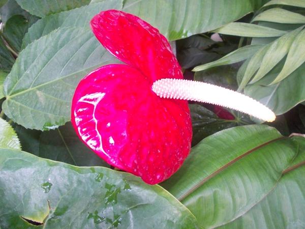 Crizanteme_158