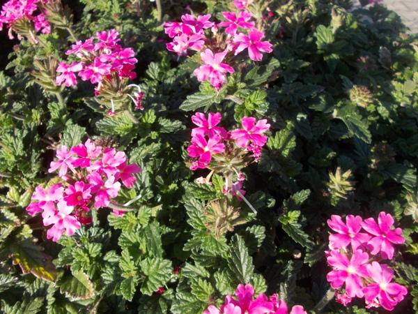 Crizanteme_167
