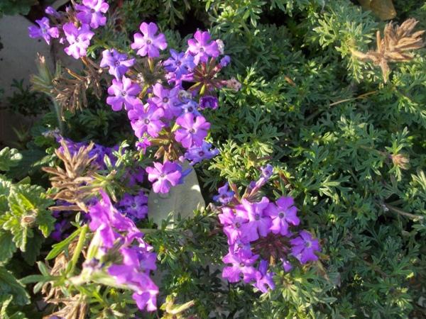 Crizanteme_169