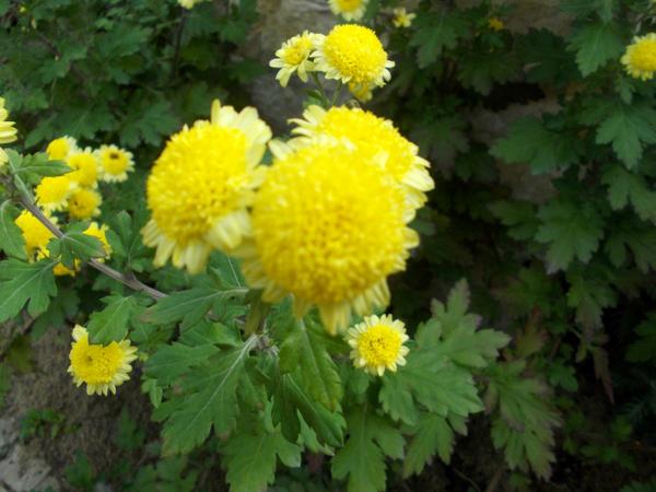 Crizanteme_38