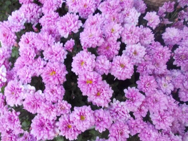 Crizanteme_55