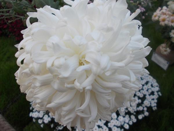 Crizanteme_59