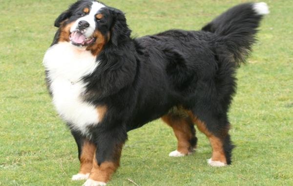boala articulației câinelui de munte bernese