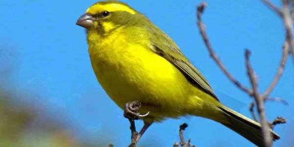 Canarul, o pasăre veselă şi inteligentă