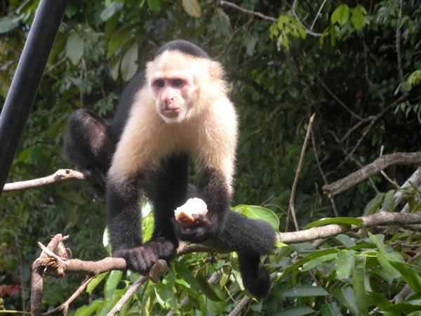 maimuta-capucin