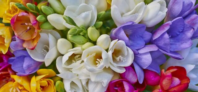 Freziile, o undă de parfum distinct, îmbătător