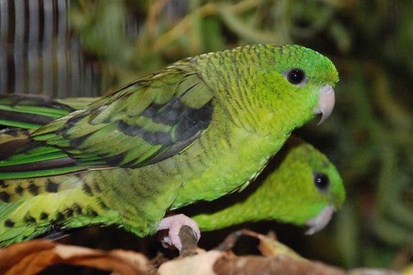 papagal-vargat