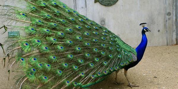 Păunul asiatic, pasăre de o frumuseţe legendară