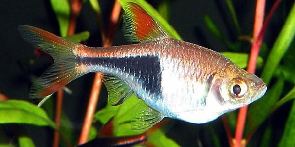 Peştele Arlechin