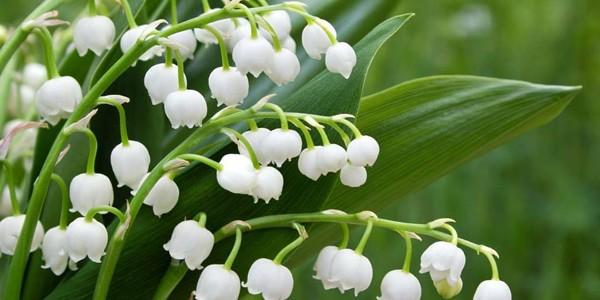 Florile din lacrimile Maicii Domnului
