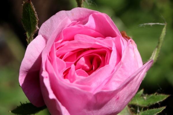 Trandafir04