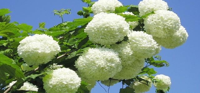 Leacuri din grădină: BULGĂRI DE ZĂPADĂ
