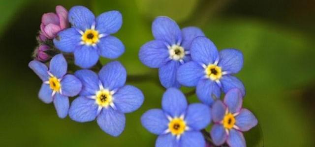 Leacuri din grădină: FLORI DE NU-MĂ-UITA