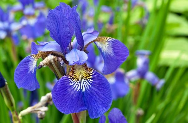 Iris flower photo art print for home and office interior design