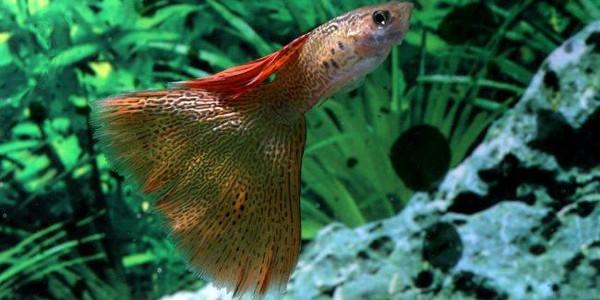 Peştii Guppy