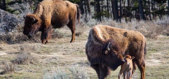 Parcul Naţional Yellowstone