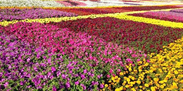 Cel mai mare covor de flori