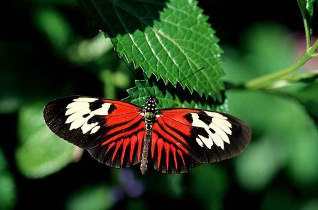 fluture-tropical