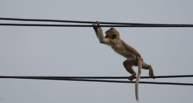 maimuta-electricitate