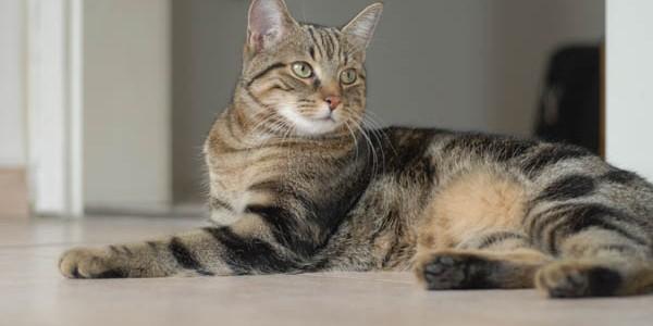 Pisica europeană cu blana scurtă