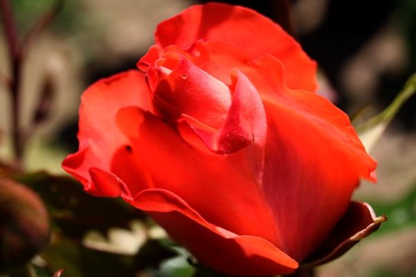 Trandafir03