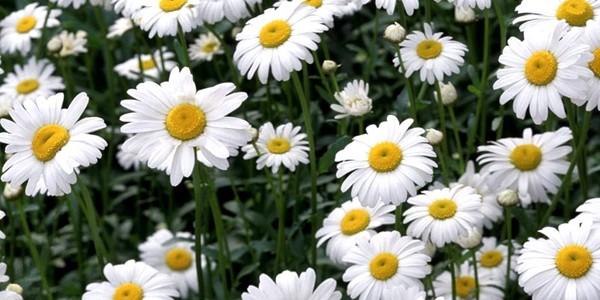 Muşeţelul, una dintre cele mai populare plante medicinale