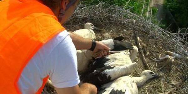 Trei pui de barză salvaţi după ce părinţii le-au decedat