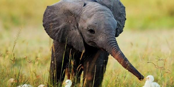 Aroganţă îngrozitoare: deţinerea de pui de elefanţi