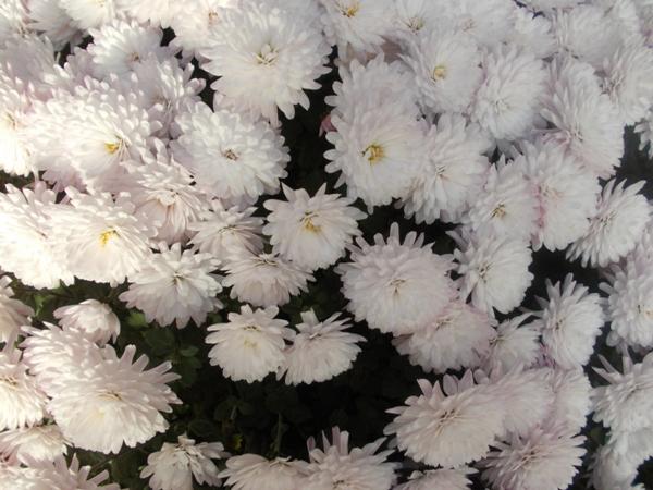 Crizanteme_24