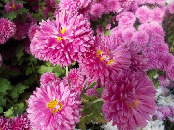 Crizanteme_25