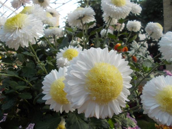 Crizanteme_67