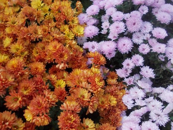 Crizanteme_95