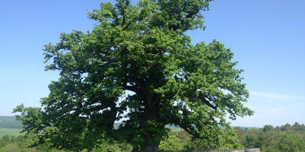 Eveniment dedicat celui mai bătrân stejar, care are 930 de ani