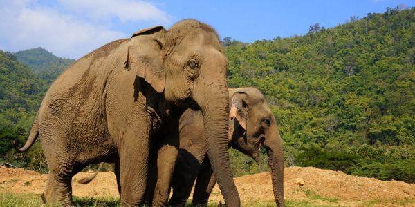 """Fermierii thailandezi folosesc """"armate"""" de albine pentru a izgoni elefanţii"""