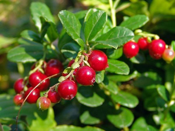 Vaccinium vitis-idaea 013