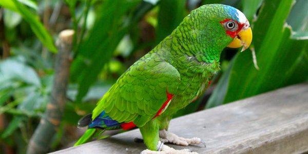 Papagalul amazon