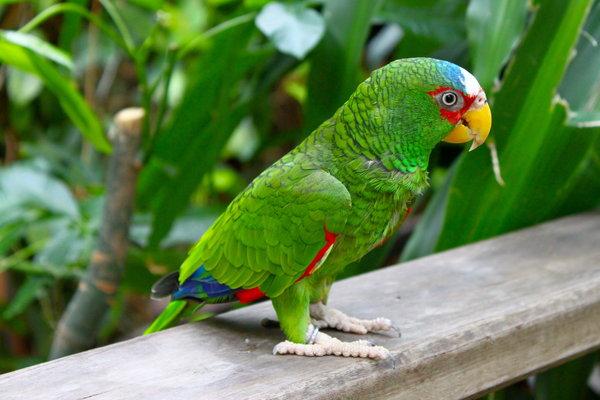 papagal-amazon