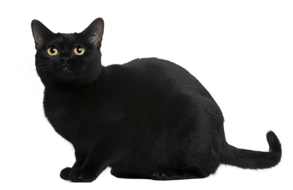 pisica-Bombay