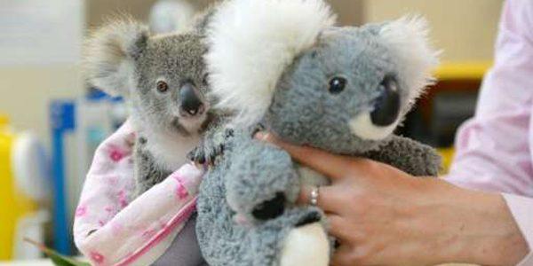 Un koala orfan se consolează cu un marsupial din pluş