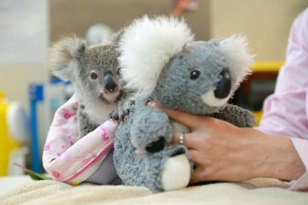 koala-shayne-ww
