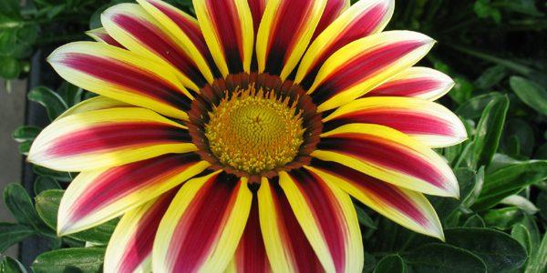 """Gazania, """"floarea-comoară"""""""