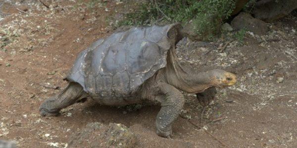 Diego, ţestoasa sex-simbol care şi-a salvat specia de la extincţie