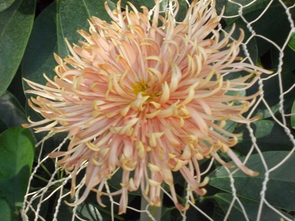 crizanteme_08