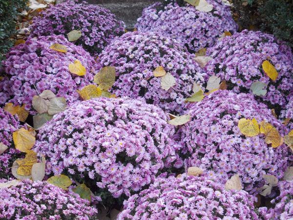 crizanteme_197