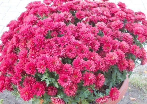 crizanteme_204