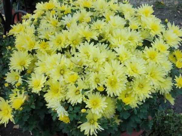 crizanteme_205