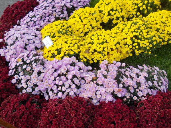 crizanteme_235